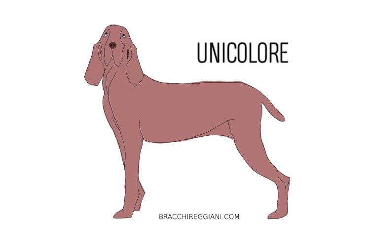 bracco-italiano-unicolore