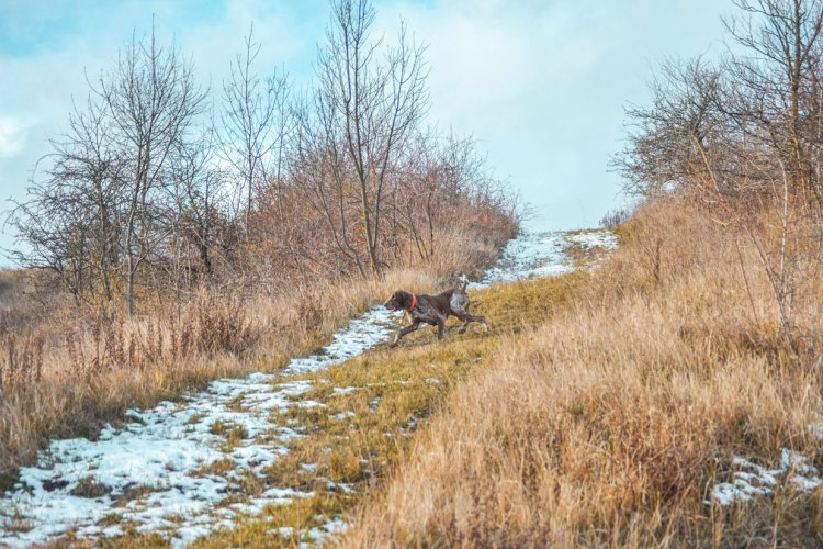 bracco italiano neve montagna caccia