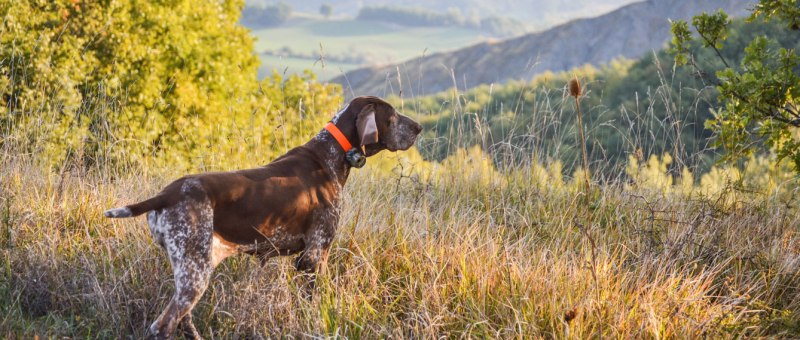 cane da caccia in ferma con beeper canicom midland