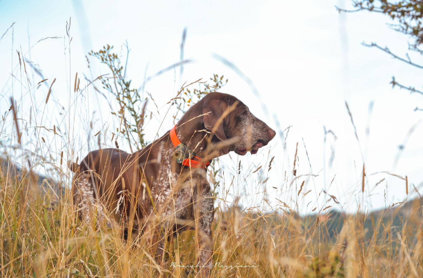 cane-da-caccia-col-beeper