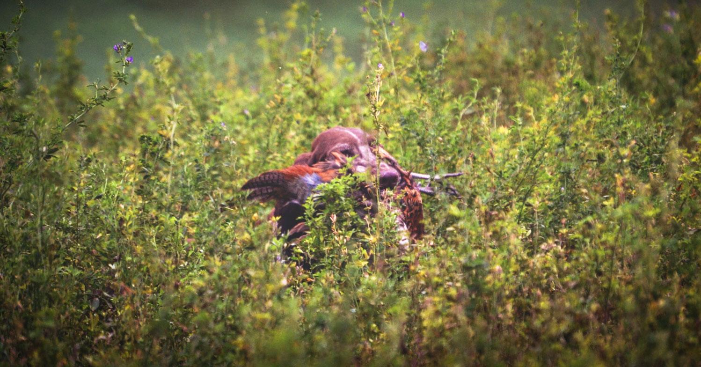 cane da caccia riporta il fagiano