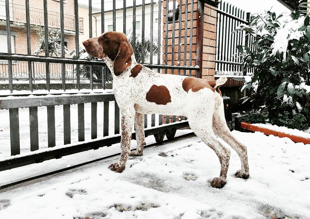 bracco-italiano-cucciolone
