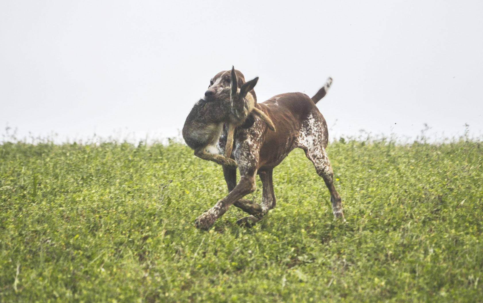cane da caccia alla lepre