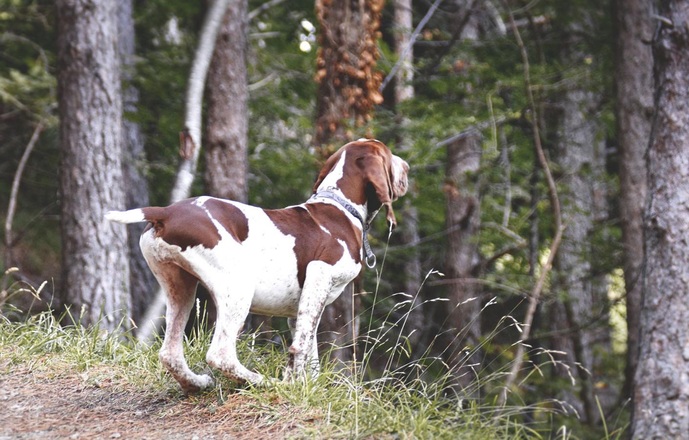 cucciolo-bracco-italiano-nel-bosco-2