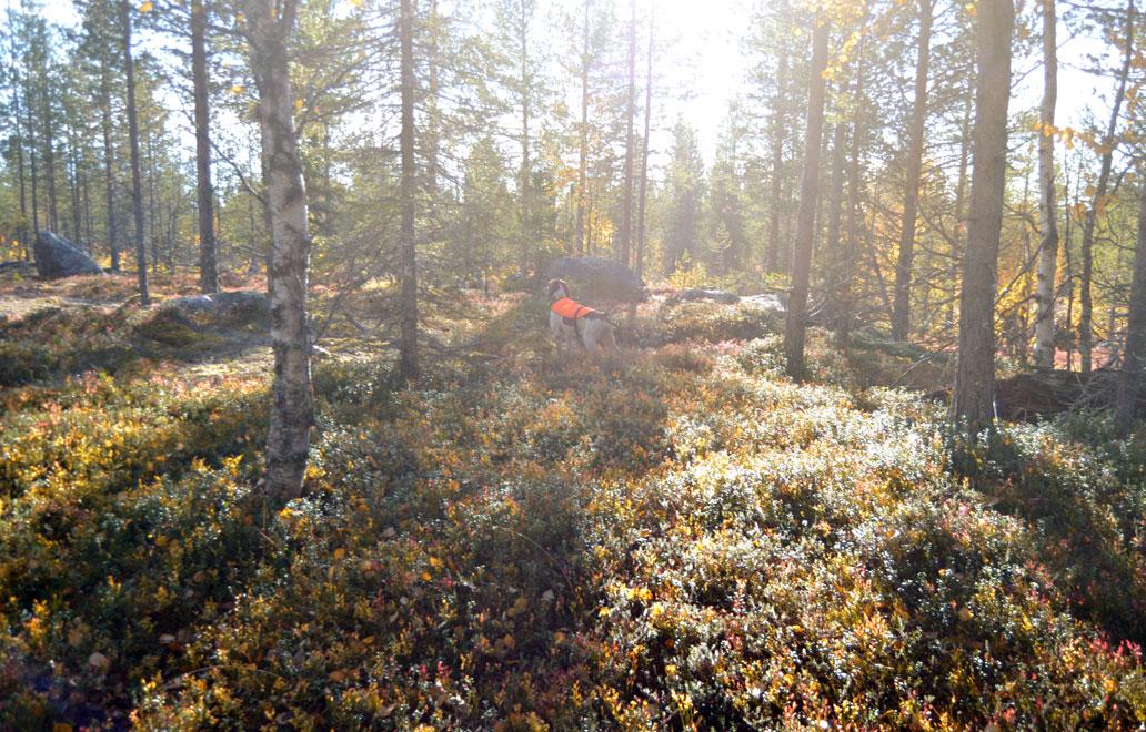 caccia-foresta-lapponia