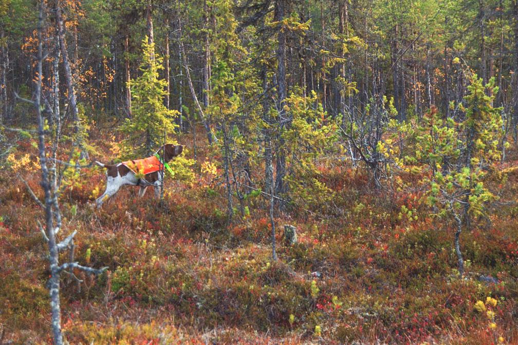 caccia-in-foresta-lapponia-con-cane