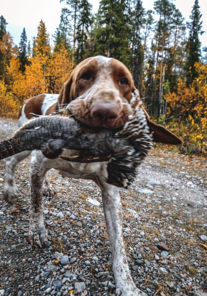 riporto-cane-da-caccia-gallo-forcello